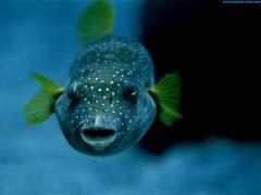 DMpuffer.jpg Fauna fish sealife animals canada dark blue Under Water