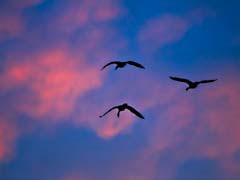 FJS200803Geese.jpg Sky Fauna birds avian animals photography clouds pink sunrise sunset dawn dusk