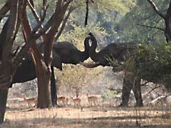 JGpachydermKiss.jpg Fauna elephants mammals animals photography african