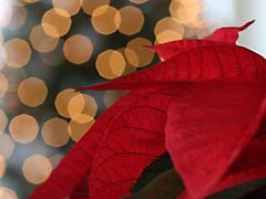 LApoinsettia.jpg Flora photography closeup close up macro zoom lights leaves leafs red Holidays christmas