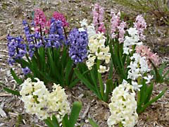 LNjacinthesMix.jpg photography Flora - Flower Blossoms pink red purple lavendar lavender blue