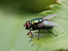 MvLfly.jpg Fauna insects bugs photography closeup close up macro zoom green