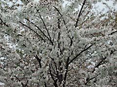RJWdcCherryFest.jpg Flora white Flora - Flower Blossoms washington dc