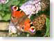 PWbutterfly.jpg Fauna insects bugs butterfly moths butterflies insects orange
